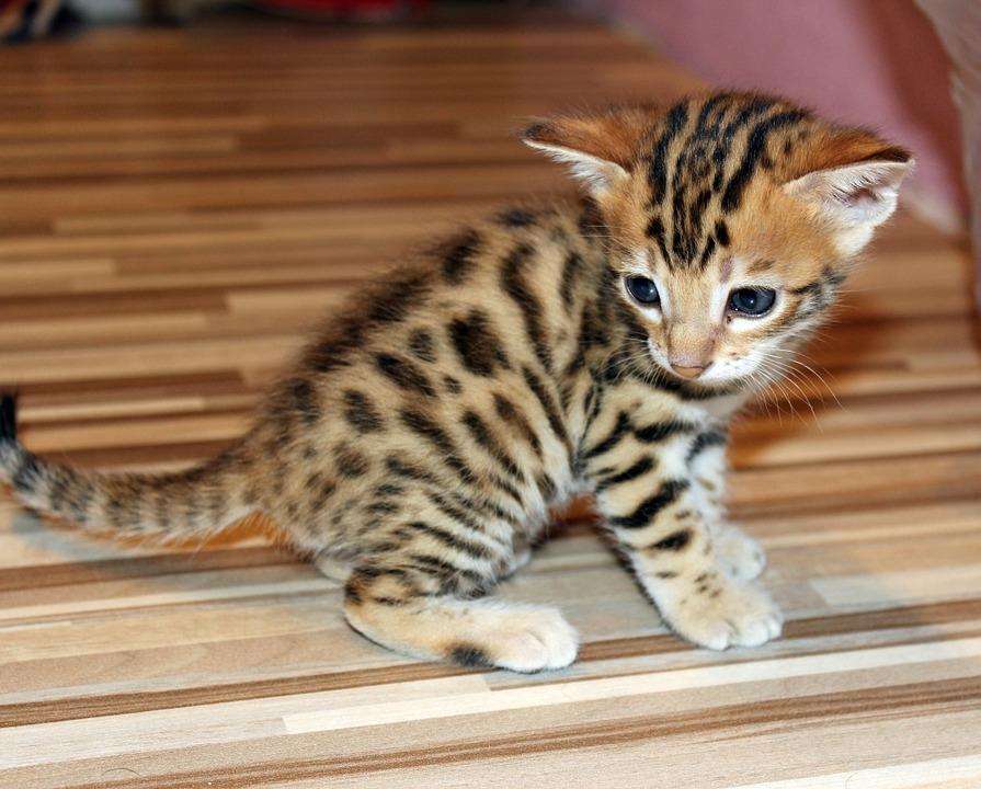 Masz Na Zbyciu Trochę Zielonych Poznaj 3 Najdroższe Rasy Kotów Na
